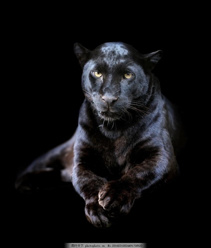 唯美黑豹 炫酷 豹子 动物 生物 凶猛 摄影