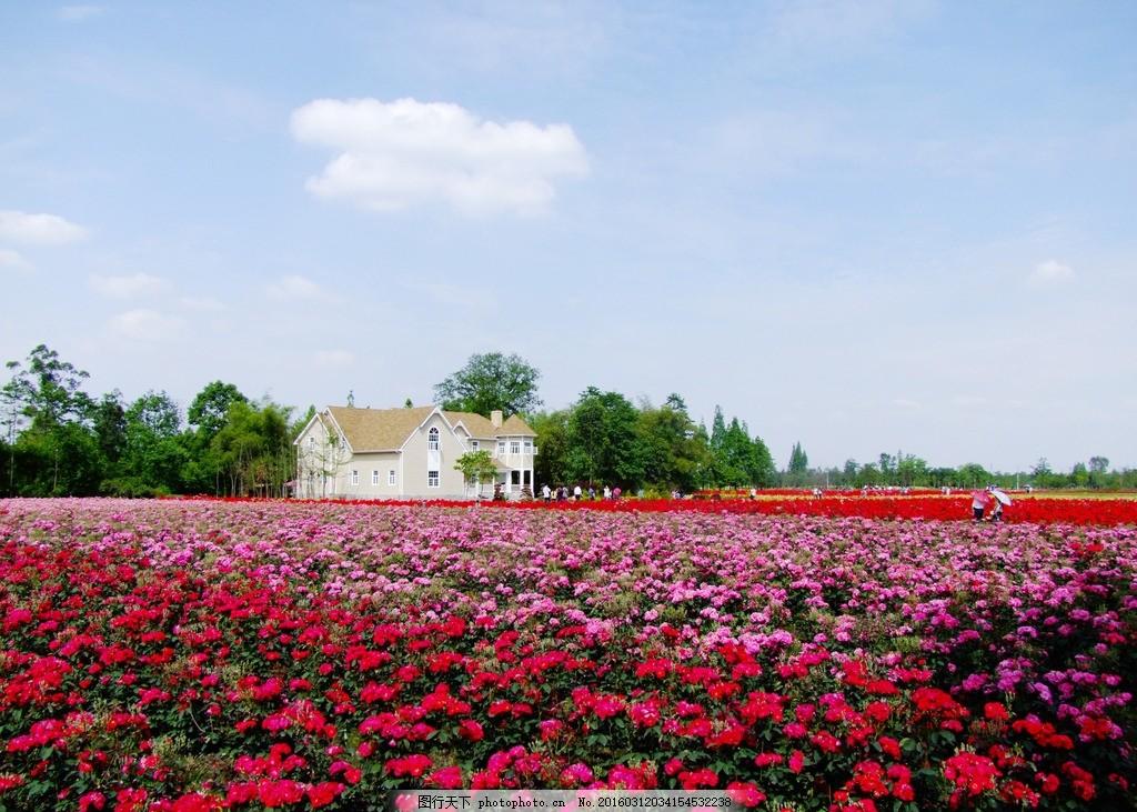 郫县玫瑰园 玫瑰园 郫县风景 城市之光 玫瑰公园 都市风景 自然风景