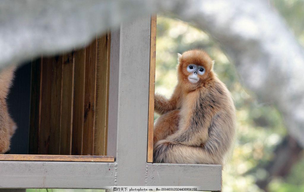 金丝猴 猴科 仰鼻猴属 动物 玩耍 争斗 珍稀动物 保护动物 呆坐