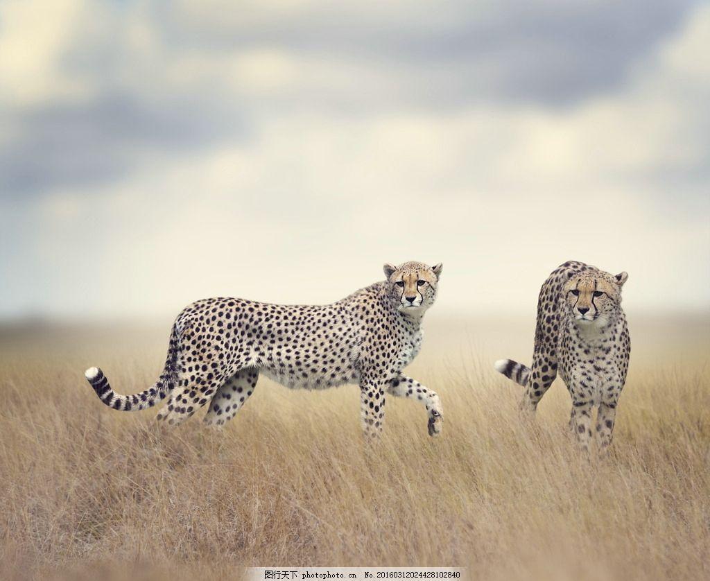 炫酷花豹 唯美 炫酷 花豹 豹子 凶猛 摄影 生物世界 野生动物 72dpi