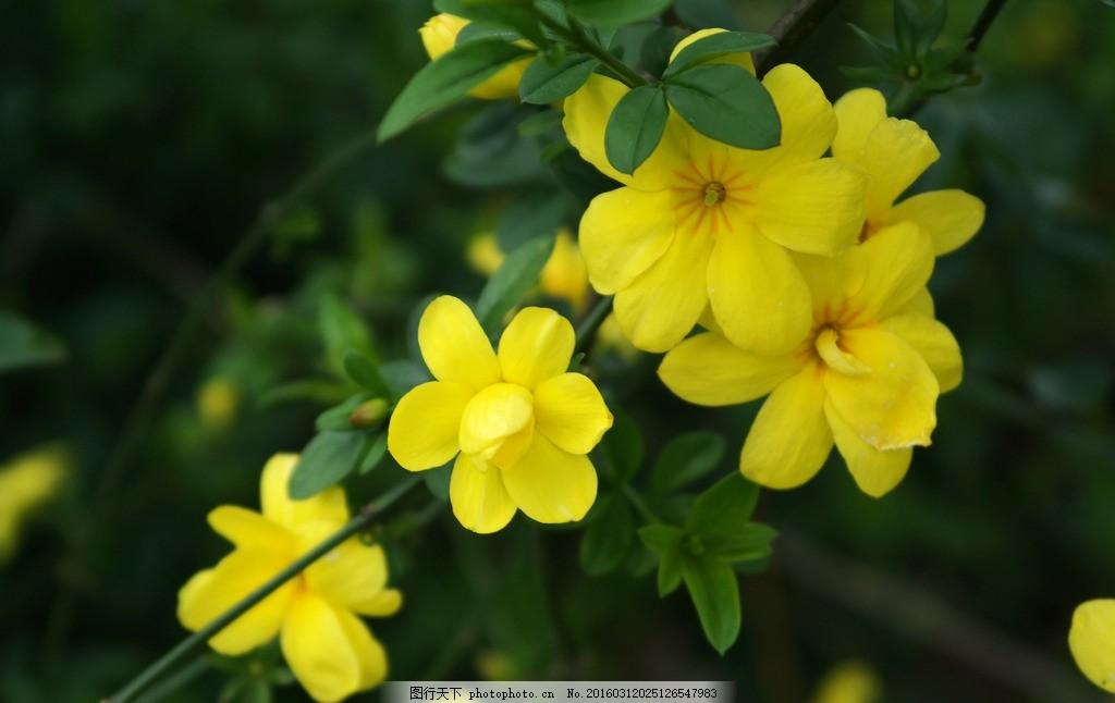 迎春花 黄花 春天的花 开放 花卉 花蕊 花朵 花圃 花园 小花