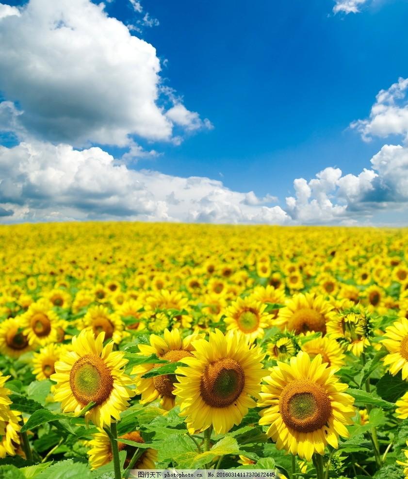 唯美 风景 风光 旅行 自然 秦皇岛 公园 奥林匹克公园 花海 向日葵
