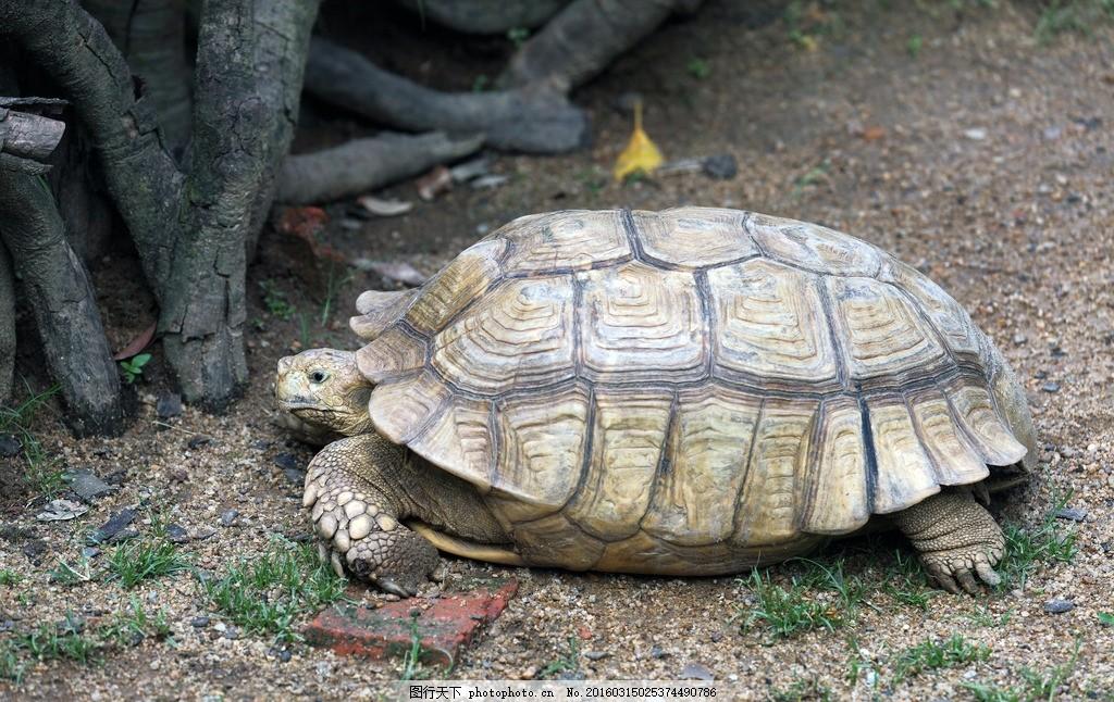 苏卡达象龟 爬行动物 硬壳 乌龟 年老 保护动物 摄影