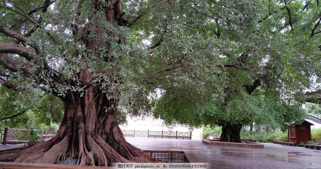 树根 大树 根须 树木 植被 纹理 老树根 景致 摄影