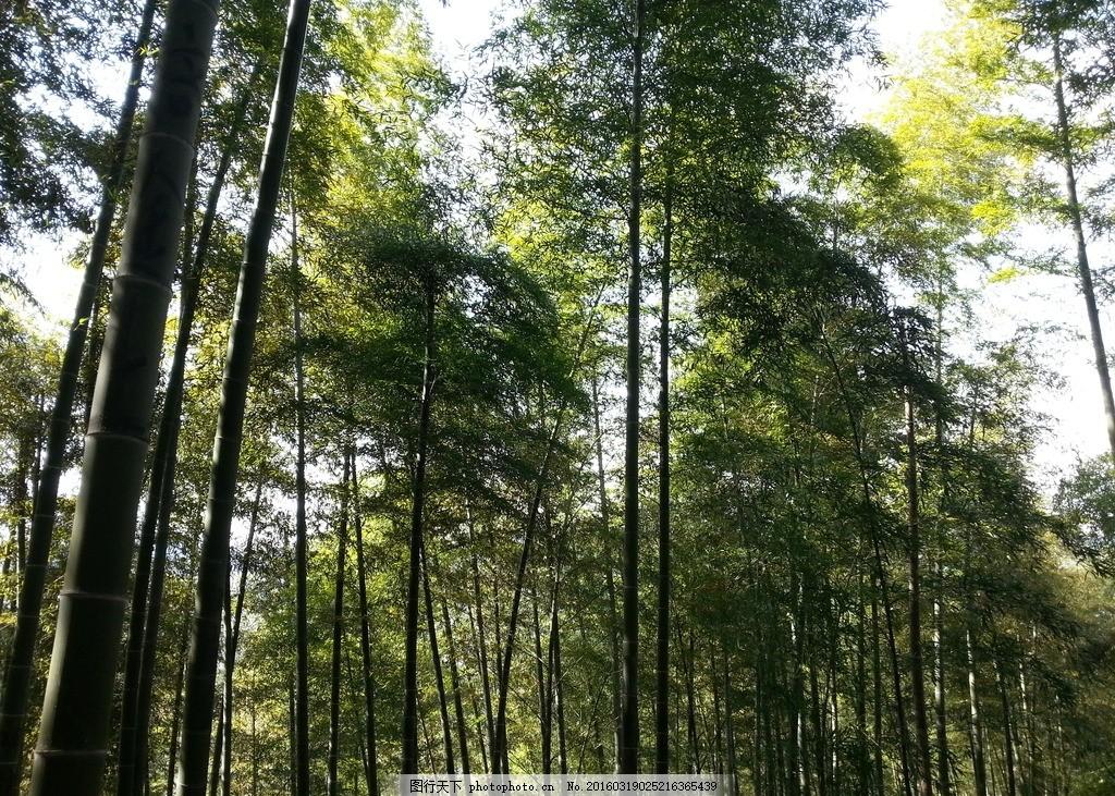 竹子 竹林 竹海 绿色 晴天 摄影 生物世界 树木树叶 72dpi jpg