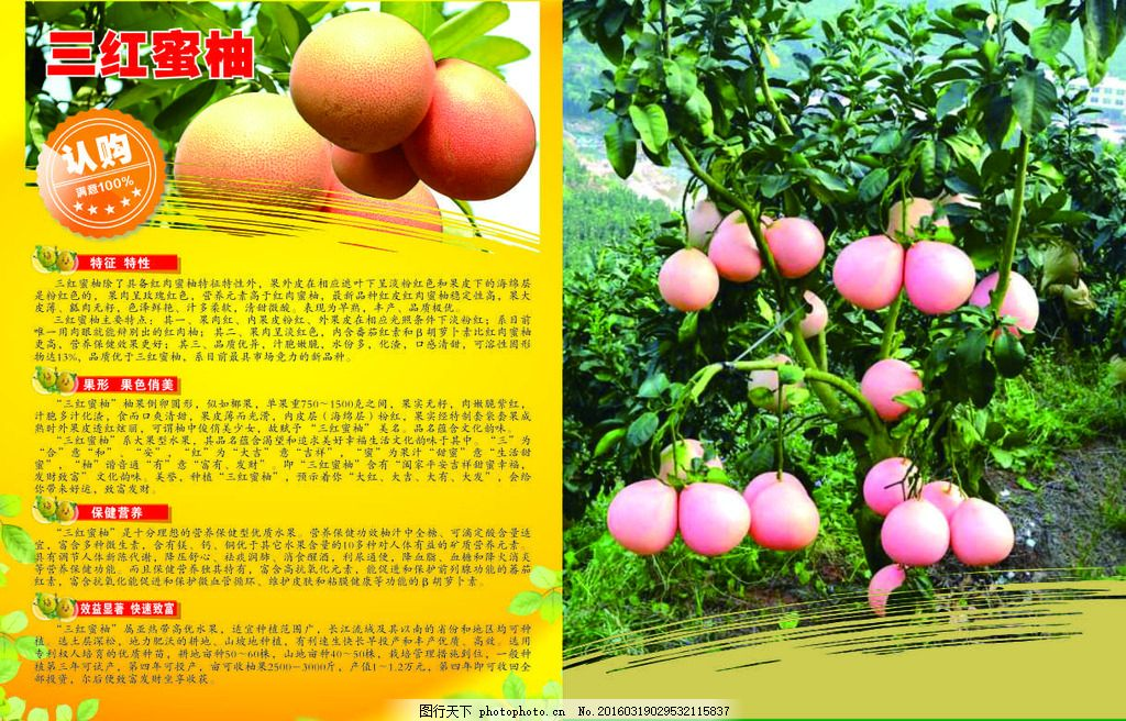 手绘蜜柚广告pop图