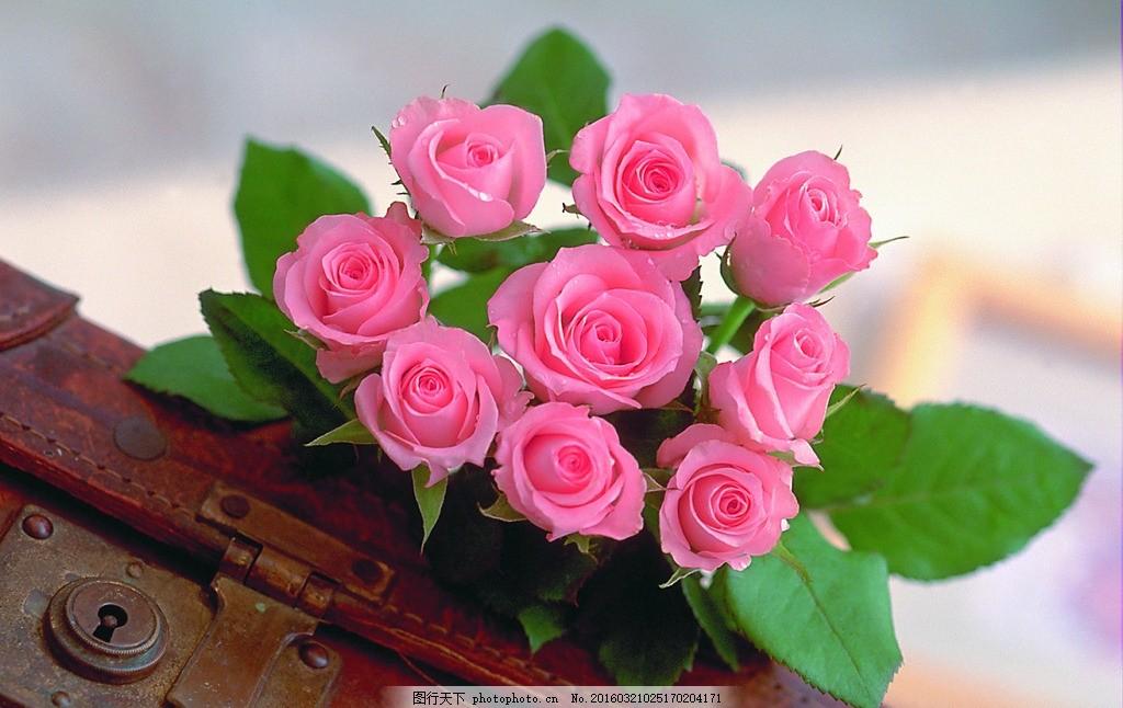 粉红玫瑰花图片