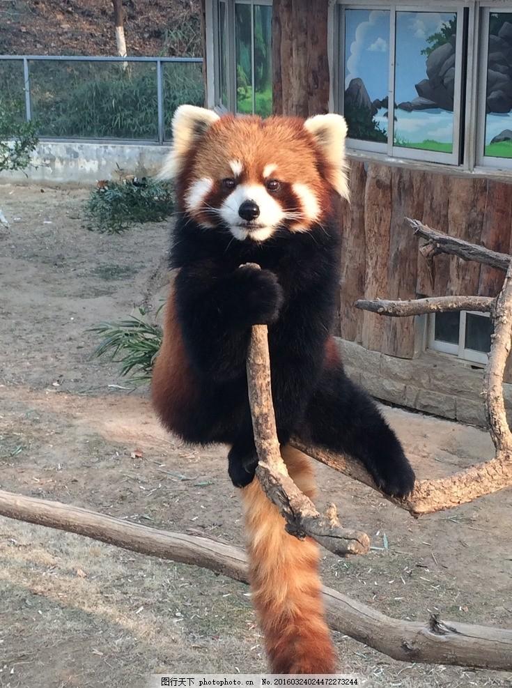 小熊猫 可爱 小浣熊 公园 太可爱了 摄影