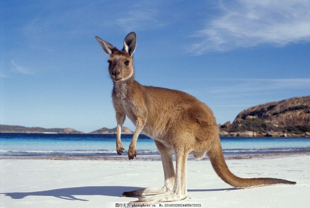 袋鼠 动物 澳洲袋鼠 大袋鼠 图片素材 摄影