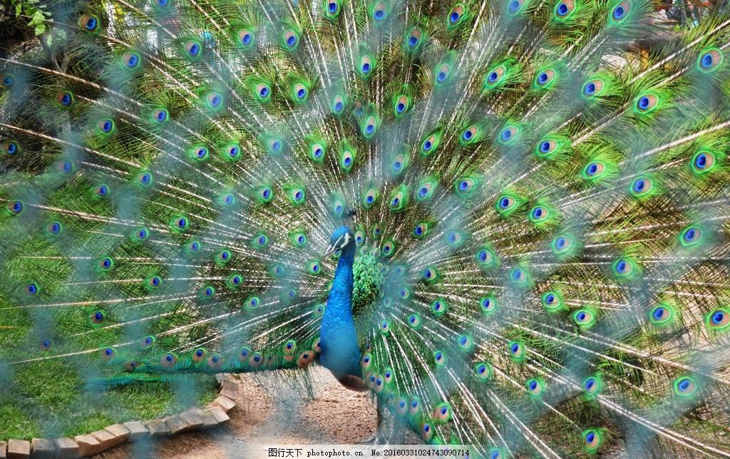 孔雀 动物 动物园 孔雀开屏 孔雀毛 摄影 生物世界 鸟类 130dpi jpg